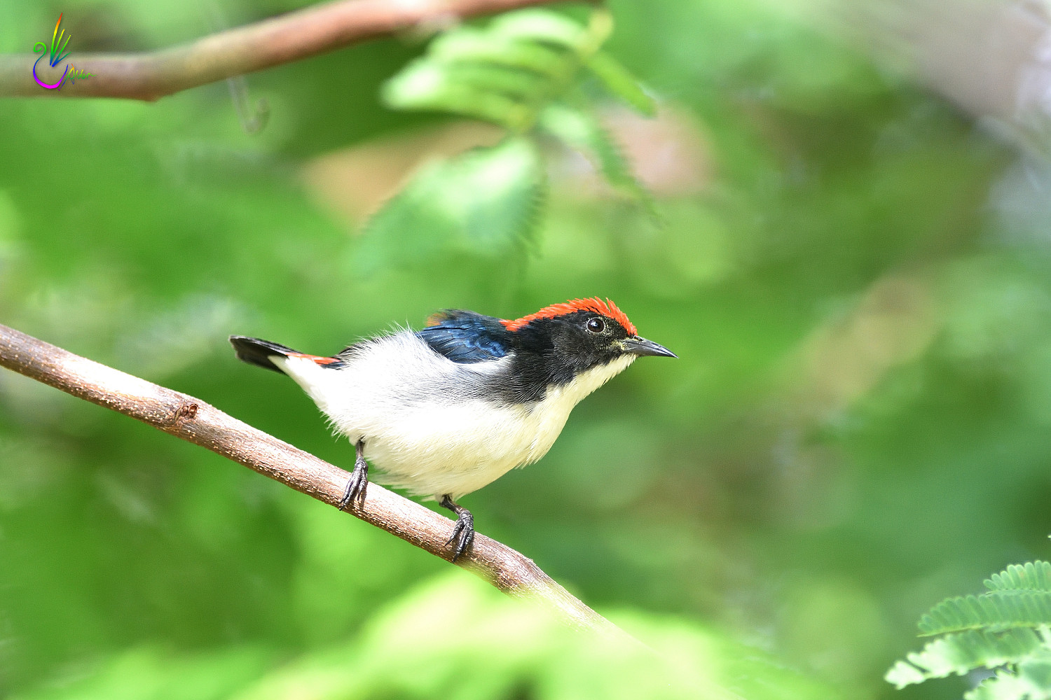 Scarlet-backed_Flowerpecker_8796