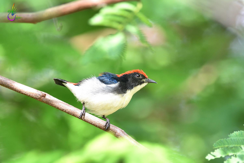 Scarlet-backed_Flowerpecker_8796