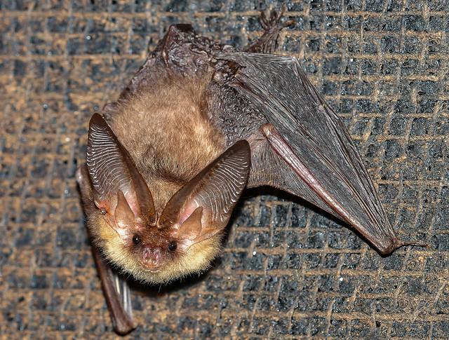 Brown Long Eared Bat, Nikon D500, AF-S Nikkor 300mm f/4E PF ED VR