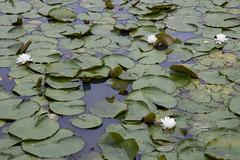 Kenilworth Aquatic Gardens (63)