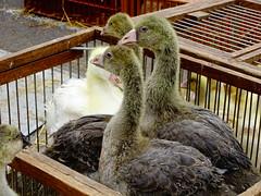 Jeunes foies gras - Photo of Vieil-Moutier