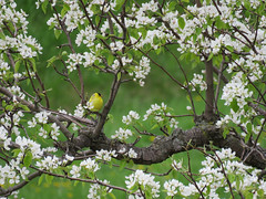 Goldfinch in a Pear Tree