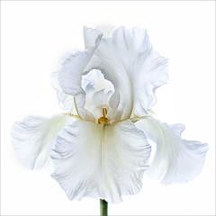 WHITE IRIS by June Hill