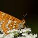 """Borboleta"", Marsh fritillary (Euphydryas aurinia) by Nuno Xavier Moreira"