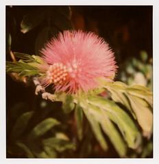 Red Pom Pom Blossom