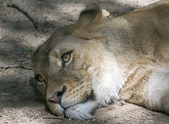 Smithsonian National Zoo  (556)African Lion