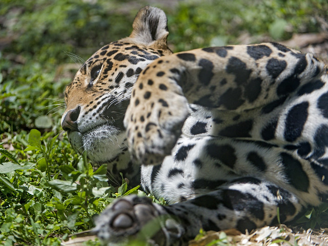 Jaguaress lying down in the grass