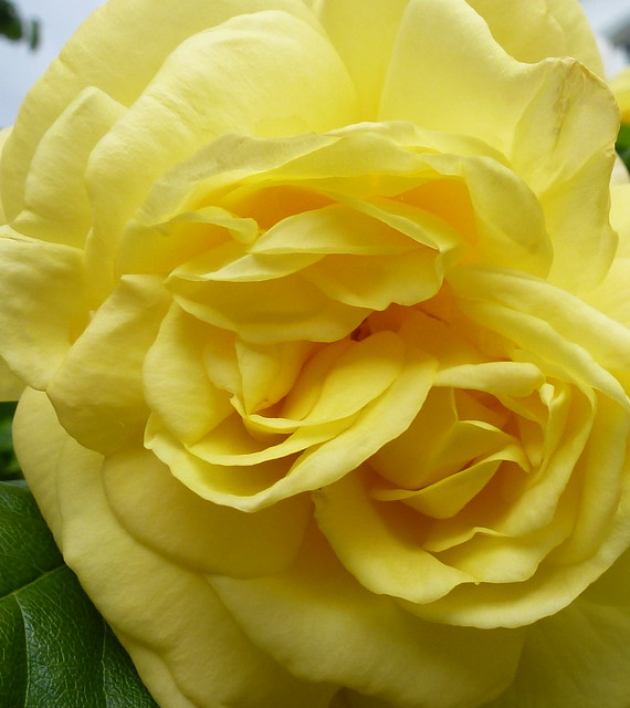 Yellow rose, Panasonic DMC-TZ20