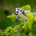 Ring-Tailed Lemur Baby