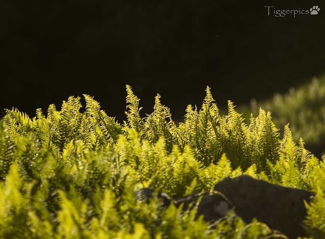 Ferns backlit2, Nikon D3200, AF-S Nikkor 300mm f/4E PF ED VR