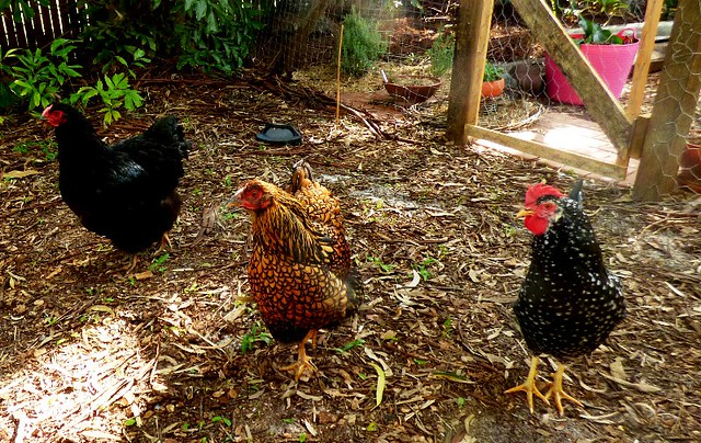 My friend Michelle's chickens, Panasonic DMC-FZ70