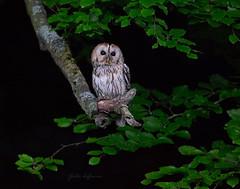 HolderTawny Owl