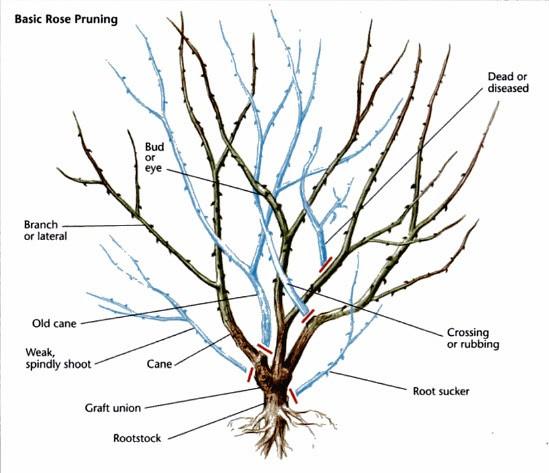 Hình ảnh minh họa các cành nhánh nào trên cây hoa hồng có thể được cắt tỉa bỏ đi