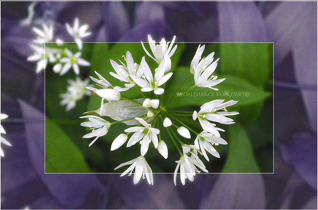 Wild Garlic 2