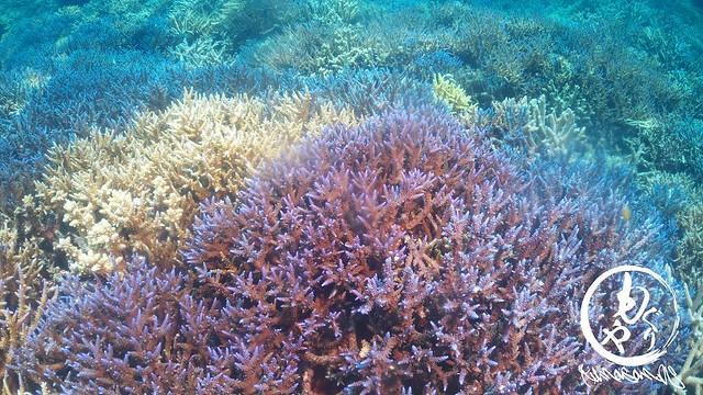 去年は石垣島でも当たり前のように見られたサンゴ達。早い復活を祈ってます♪
