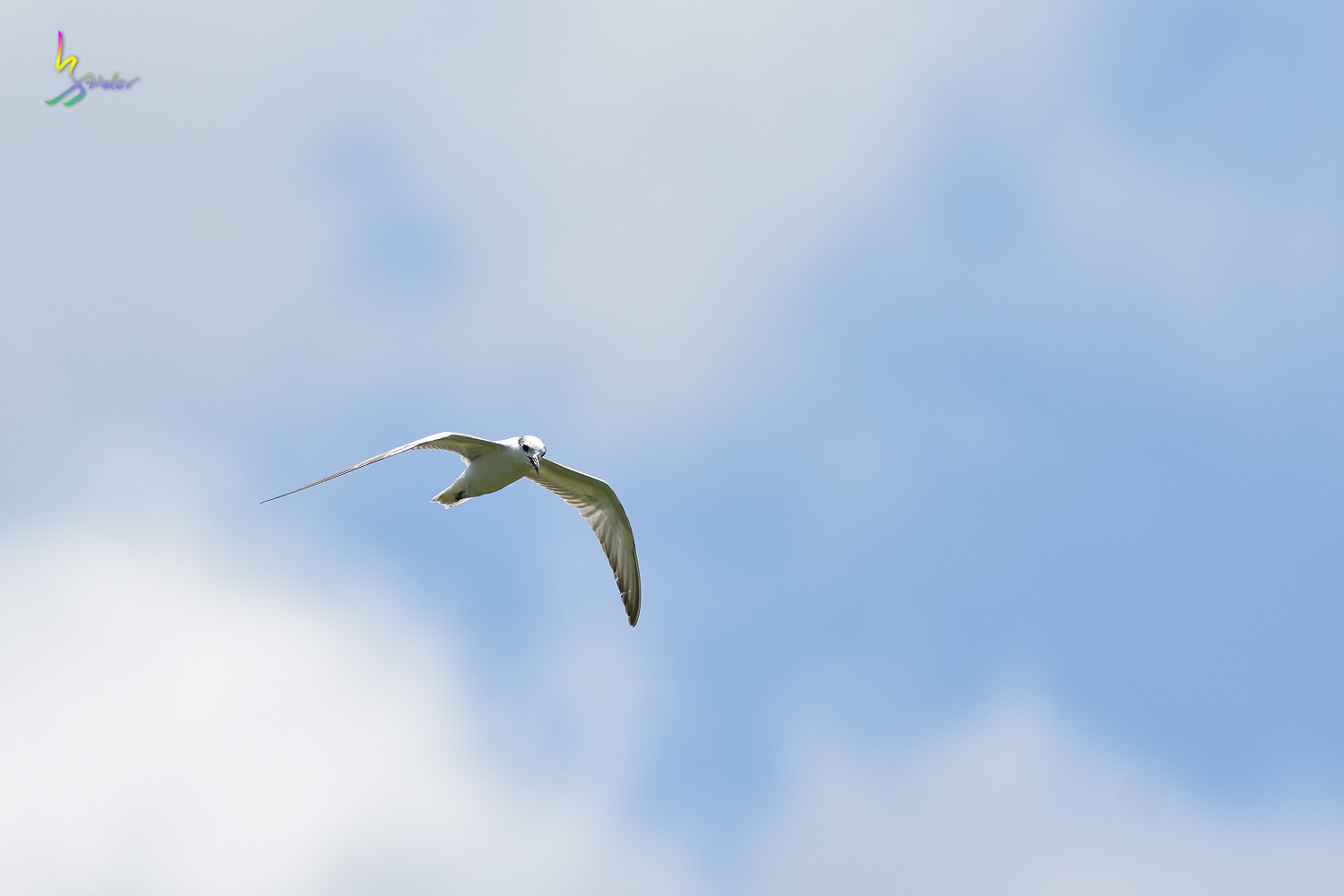 Whiskered_Tern_5021
