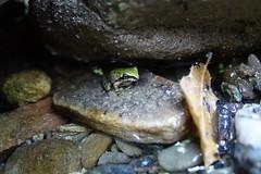 Baja California Treefrog - Wood Canyon, Aliso Viejo, CA 6-19-17