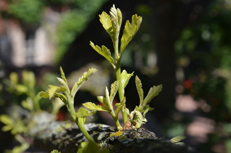 Oak Tree - New Growth