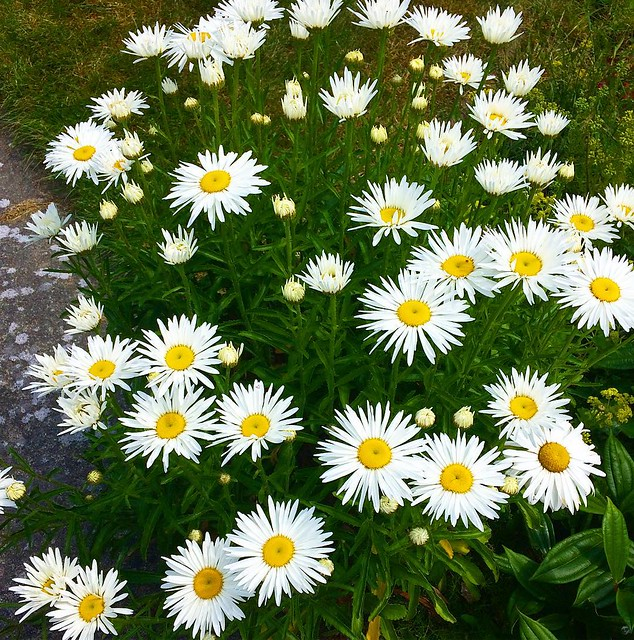 Our daisies are really blossoming this year!