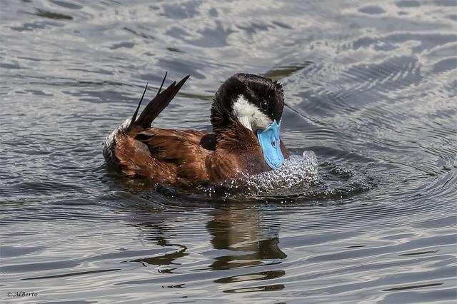 Ruddy Duck / Canard roux