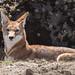 Ethiopian Wolf (Tim Melling)