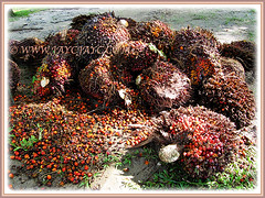 Harvested fruits of Elaeis guineensis (Oil Palm, African Oil Palm, Kelapa Sawit), 28 Dec 2009