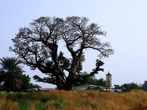 baobab arbre tree afrique africa nature benin big mosquee mosquito village vegetation seqoia paysage landscape exterieur couleurs herbe grass