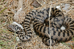 Asp Viper (Vipera aspis) male (found by Jean NICOLAS)