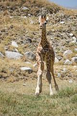 Baby giraffe loping