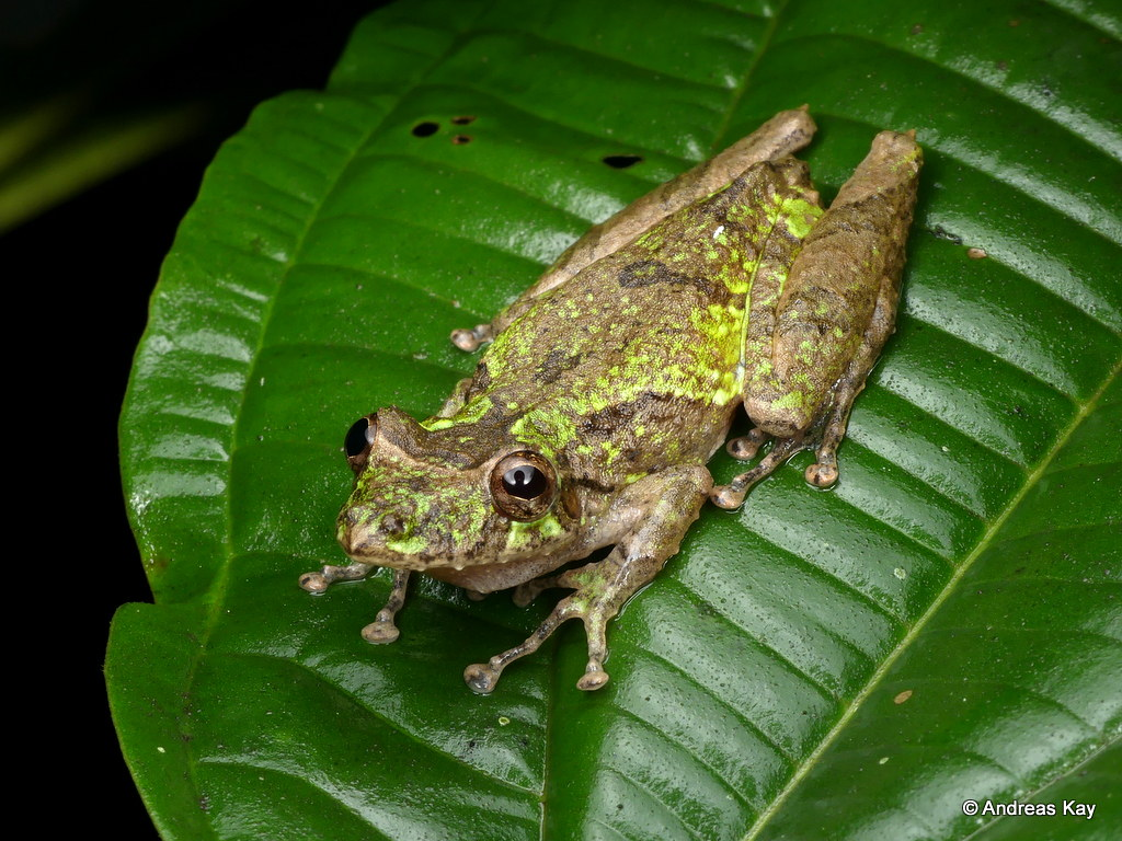 Fringe Lipped Treefrog, Scinax garbei