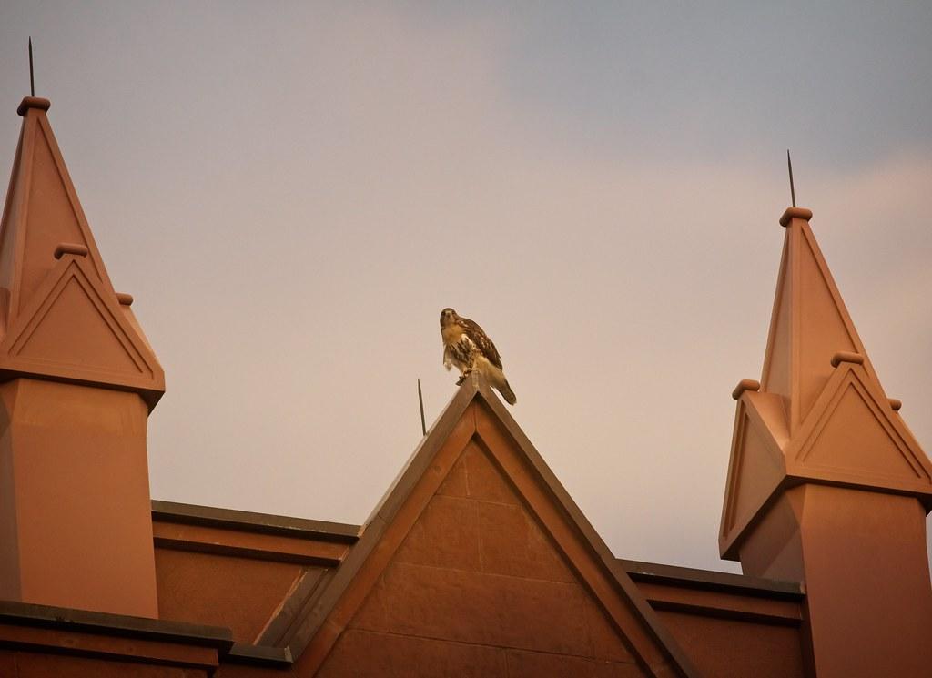 Tompkins fledgling #1 atop St Brigid's