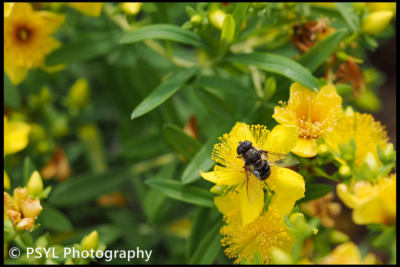 Syrphid fly (Eristalis sp.) on Hypericum kalmianum