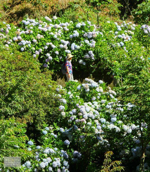 杉林溪繡球花18