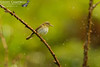 Willow Warbler in the Rain (Phylloscopus trochilus)