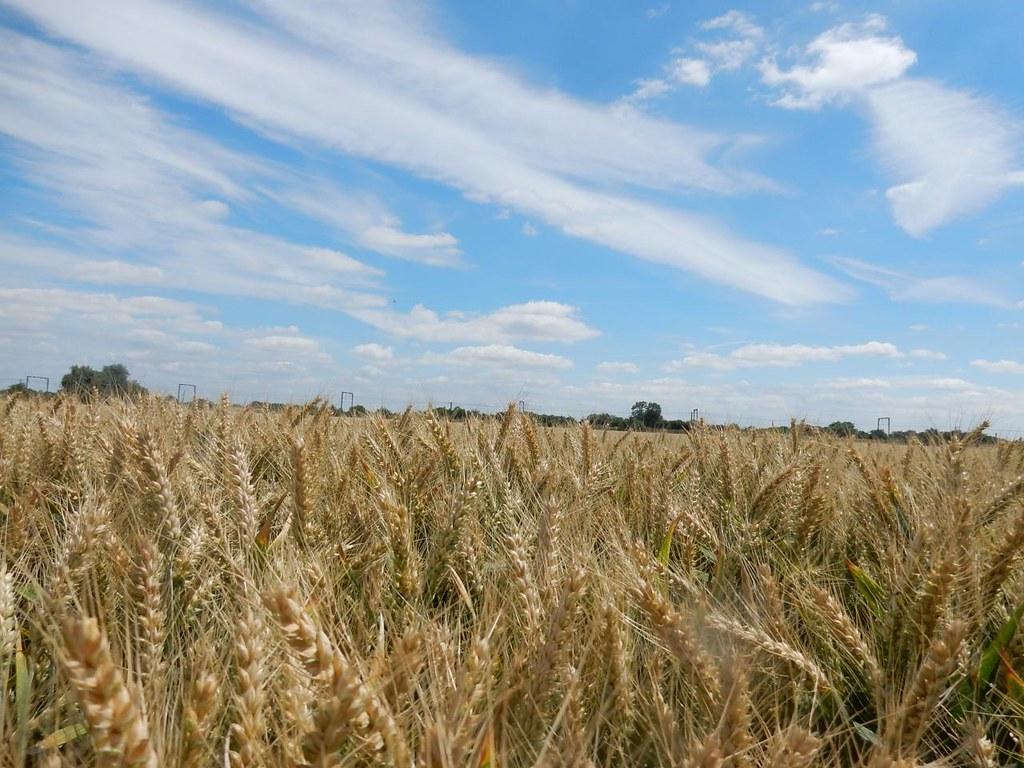Wheat Ely Circular