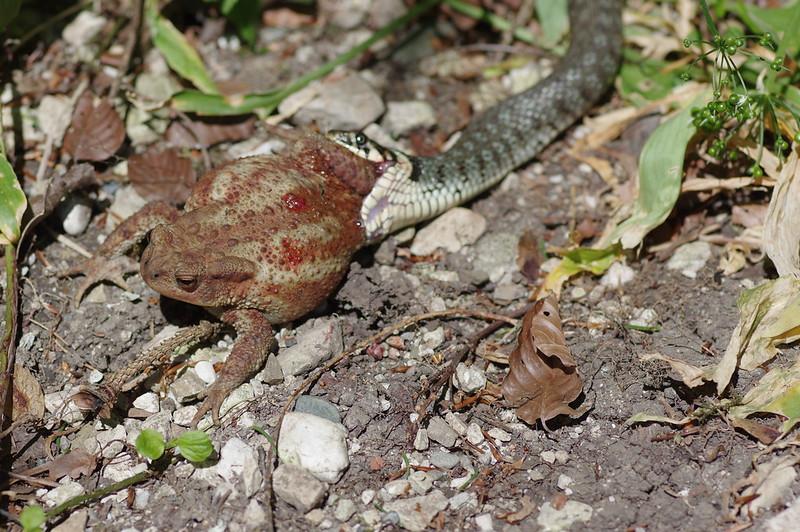 Ringelnatter Erdkröte
