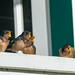 Barn Swallow fledglings (1 of 1)