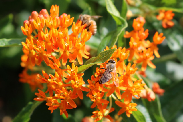 closeup of light orange, with a honeybee in focus facing up on the center-right and an out-of-focus honeybee above facing left