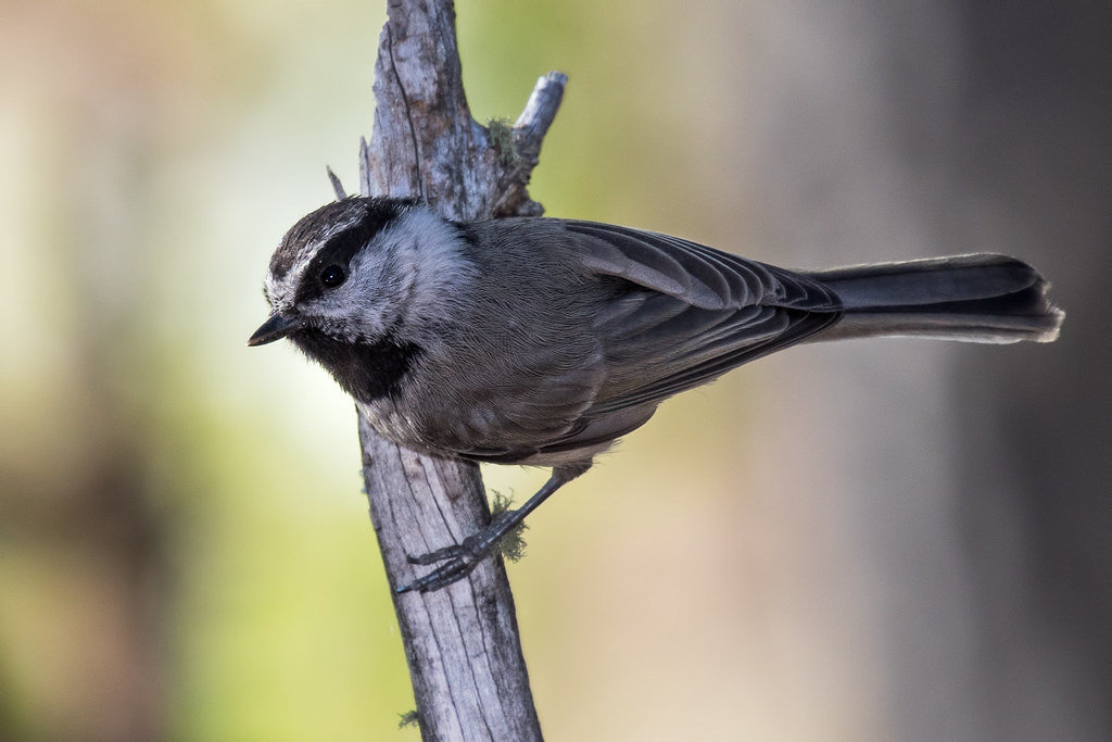 Mountain-Chickadee-62-7D2-070317