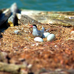 Tern with really big eggs