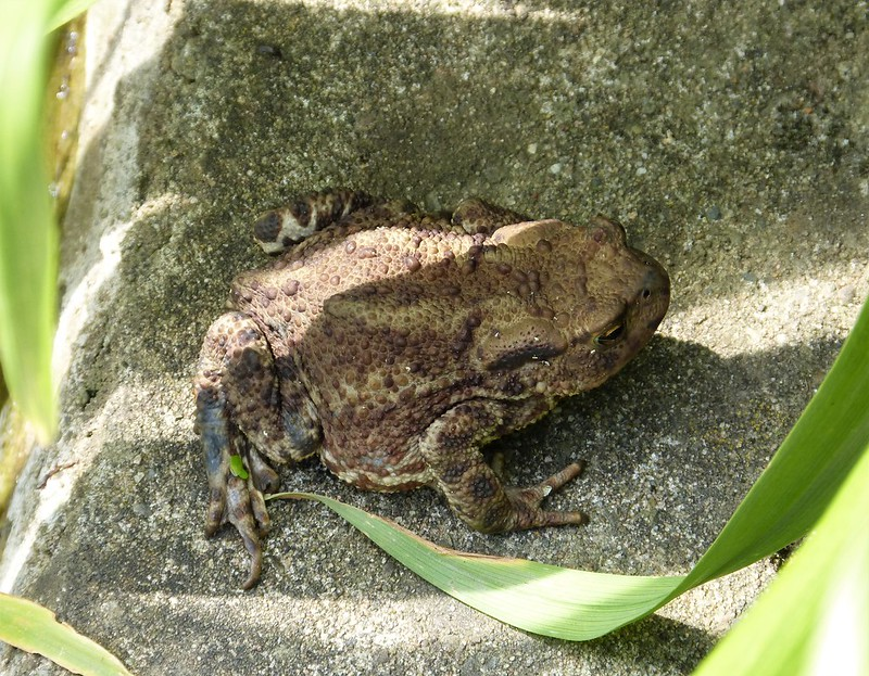 Our resident toad finding shade