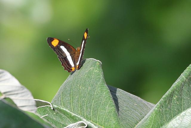 Adelpha species - Soberanía National Park, Panama, Panama - June 6, 2017