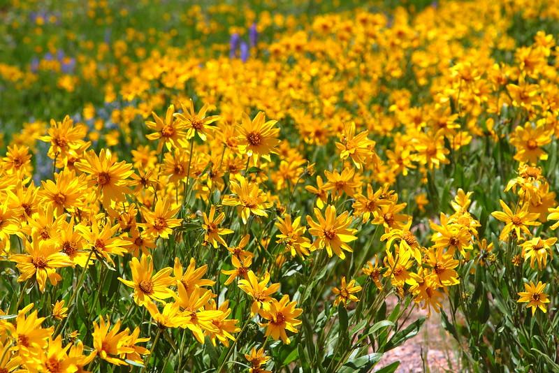 IMG_6285 Little Sunflower (Helianthella uniflora)