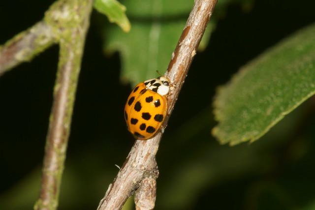 10-spot ladybird (Adalia decempunctata)?