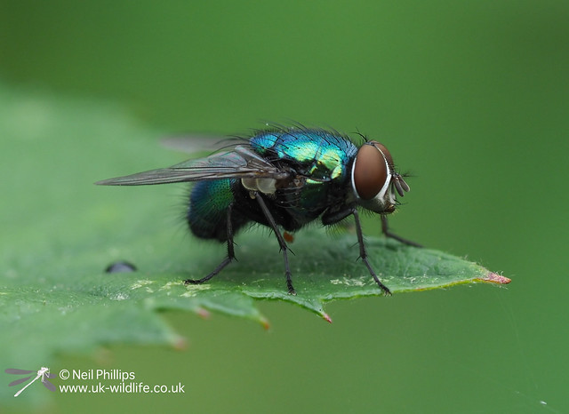 Greenbottle - hand held in camera autostack 8 images