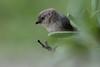 Wrentit (Chamaea fasciata)