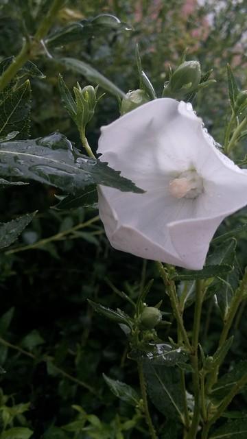 장마시즌 아침풍경 | 도라지꽃
