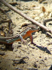 Orange-throated whiptail (digibinned)