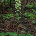 Platanthera orbiculata (Pad-leaf orchid)