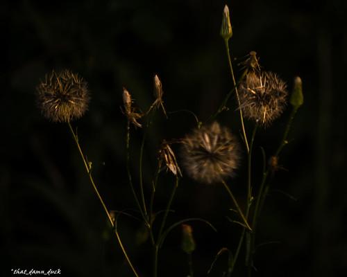 nature plant sunlight dawn sunrise flower dandelion buds